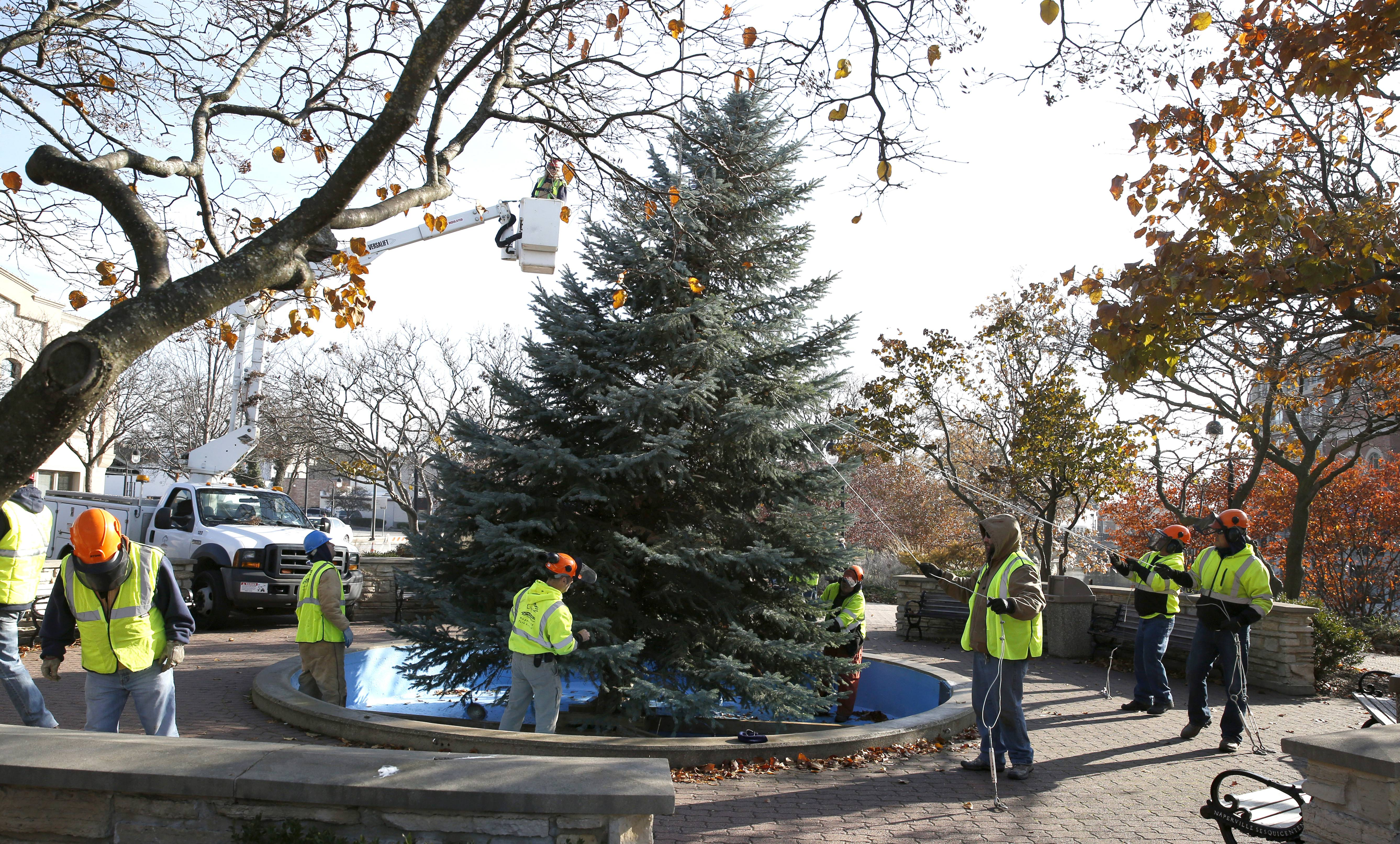 Naperville's Christmas tree was donated by the Bennington Homeowners Association.