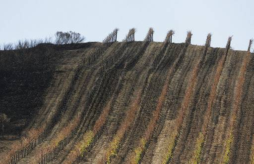 In this photo taken Monday, Oct. 30, 2017, a partially burned vineyard is seen along Highway 121 in Sonoma, Calif. The impact last month's wildfires had on the wine industry was minimal overall, but many face challenges making up for losses sustained during closures at the busiest time of year and now convincing people to revisit.