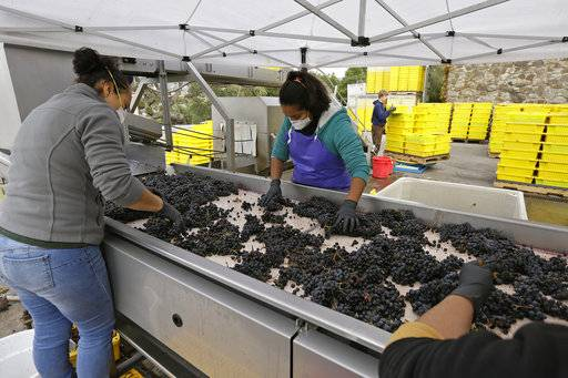 In this photo taken Oct. 19, 2017, women sort Cabernet Sauvignon grapes from Howell Mountain at the Cardinale winery in Oakville, Calif. The impact that last month's wildfires had on the wine industry was minimal overall, but many face challenges making up for losses sustained during closures at the busiest time of year and now convincing people to revisit.