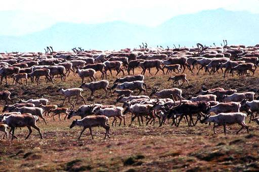 In this undated photo provided by the U.S. Fish and Wildlife Service, caribou from the Porcupine Caribou Herd migrate onto the coastal plain of the Arctic National Wildlife Refuge in northeast Alaska. A showdown is looming in the nation's capital over whether to open America's largest wildlife refuge to oil drilling. A budget measure approved by the Republican-controlled Congress allows lawmakers to pursue legislation that would allow drilling on the coastal plain of the Arctic National Wildlife Refuge. The refuge takes up an area nearly the size of South Carolina in Alaska's northeast corner. (U.S. Fish and Wildlife Service via AP)