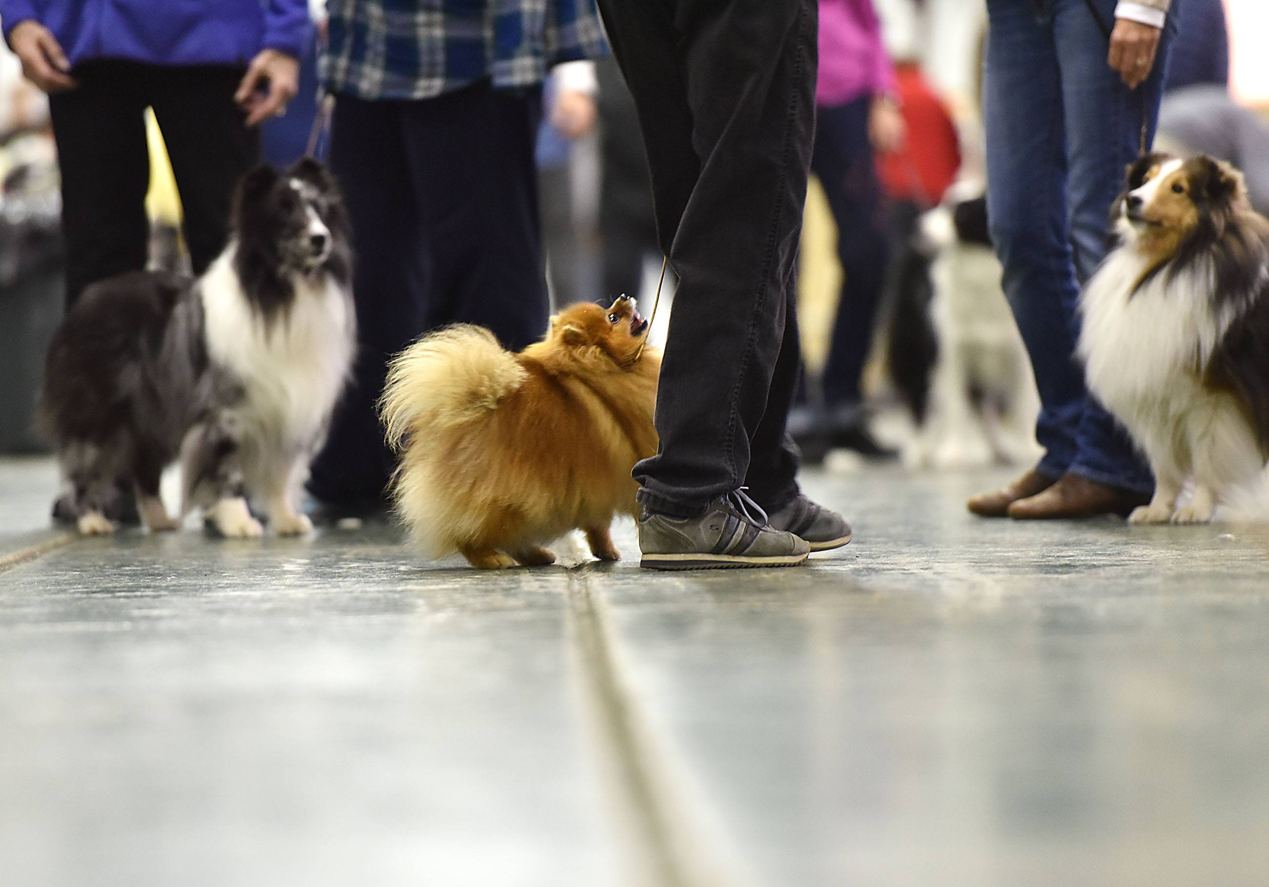 A trio of small dogs seem focused on the same thing at the Fox Valley Dog Show at the Kane County Fairgrounds in St. Charles Saturday.