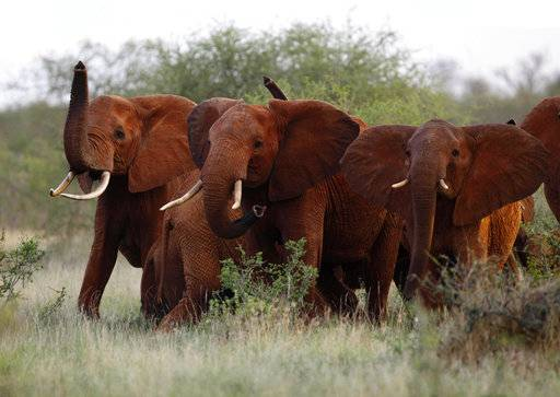 In this file photo taken Tuesday, March 9, 2010, elephants use their trunks to smell for possible danger in the Tsavo East national park, Kenya. The Trump administration is lifting a federal ban on the importation of body parts from African elephants shot for sport.