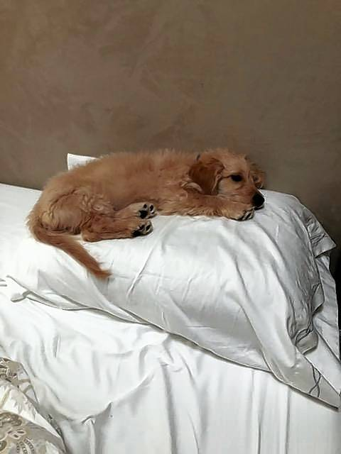 Theo, a 5-month-old mini goldendoodle, was killed Monday when he was mauled by a pit bull near Wheaton, his owner says.