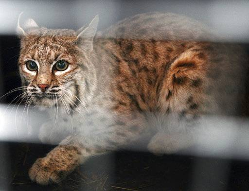 FILE - In this Dec. 7, 2007 file photo, a bobcat trapped in a snare at the Billings, Mont., airport looks out of his crate before being released east of Shepherd, Mont. Fur trappers are asking a federal judge to throw out a lawsuit from wildlife advocates who want to block the export of bobcat and gray wolf pelts from the United States. (AP Photo/Billings Gazette, Casey Riffe, File)