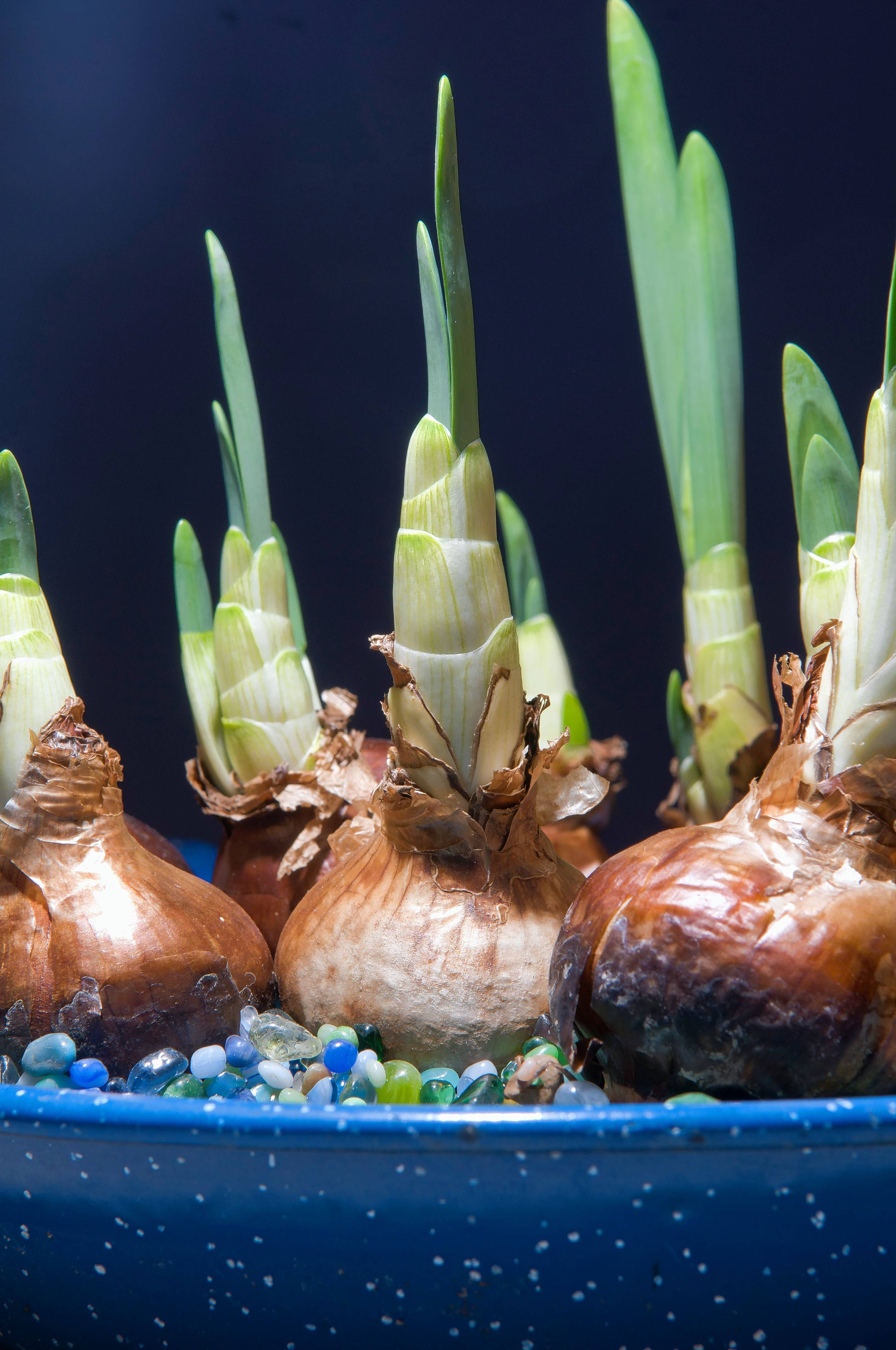 Certain flowering bulbs are excellent for forcing in pots over winter in the greenhouse or home.