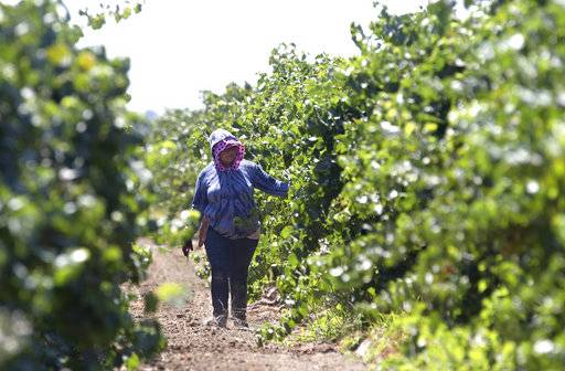 File - In this Aug. 17, 2016, file photo, a farm worker trims grape vines in a vineyard in Clarksburg, Calif. In a unanimous ruling Monday, Nov. 27, 2017, the high court in California upheld a law that aims to get labor contracts for farmworkers whose unions and employers do not agree on wages and other working conditions. (AP Photo/Rich Pedroncelli, File)