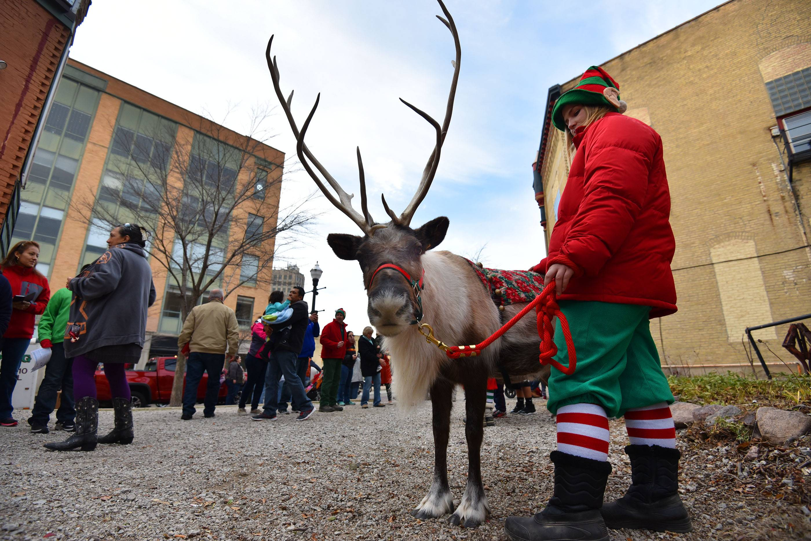 A reindeer named Snowflake is shepherded by an elf at Elgin's Winter Wonderland event in downtown Elgin Saturday. They are from Summerfield Zoo in Belvidere.