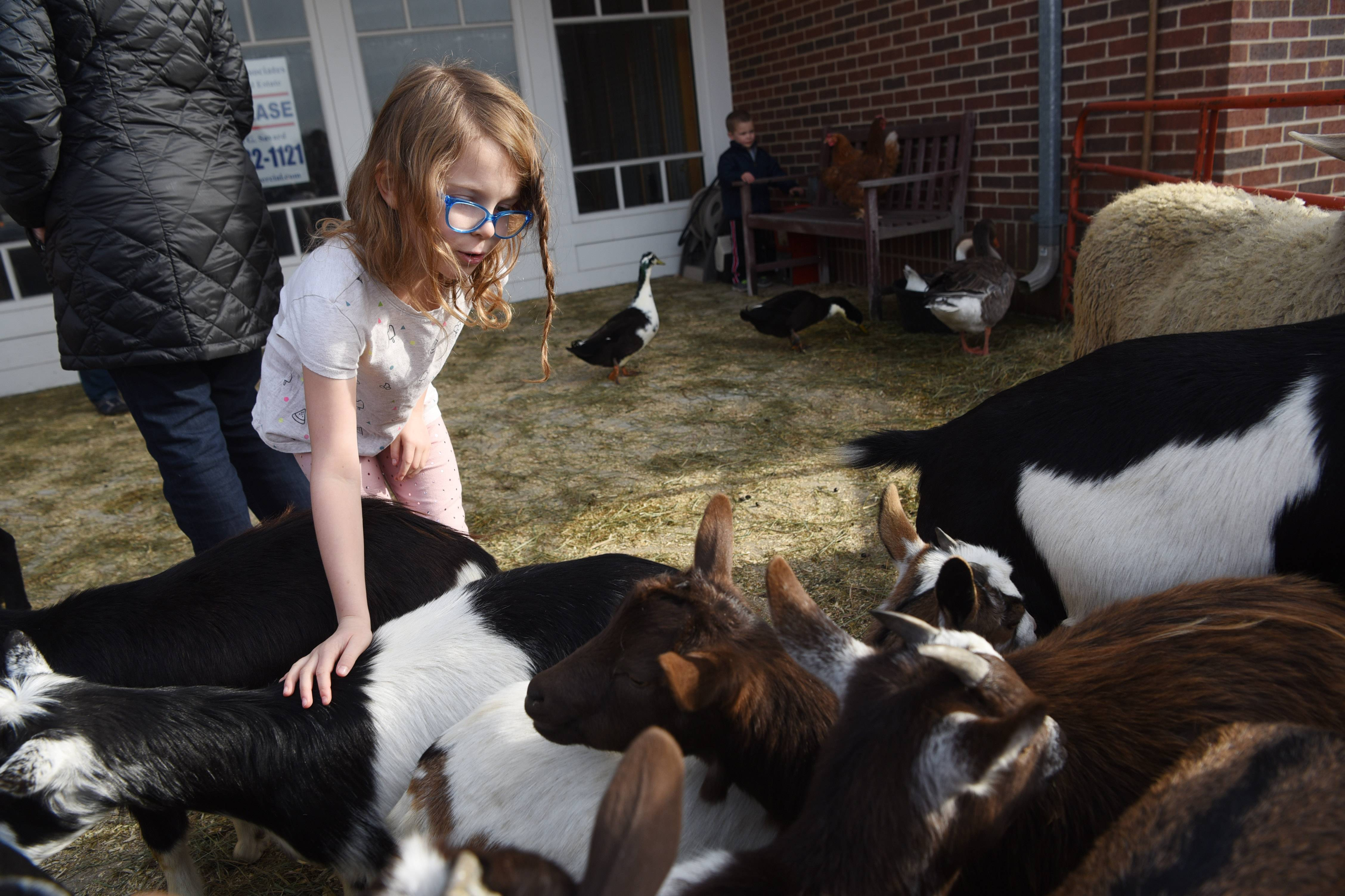 Kendall Lohmeyer, 8, of Barrington pets goats during the Home for the Holidays celebration at the Foundry shopping center in Barrington Saturday.