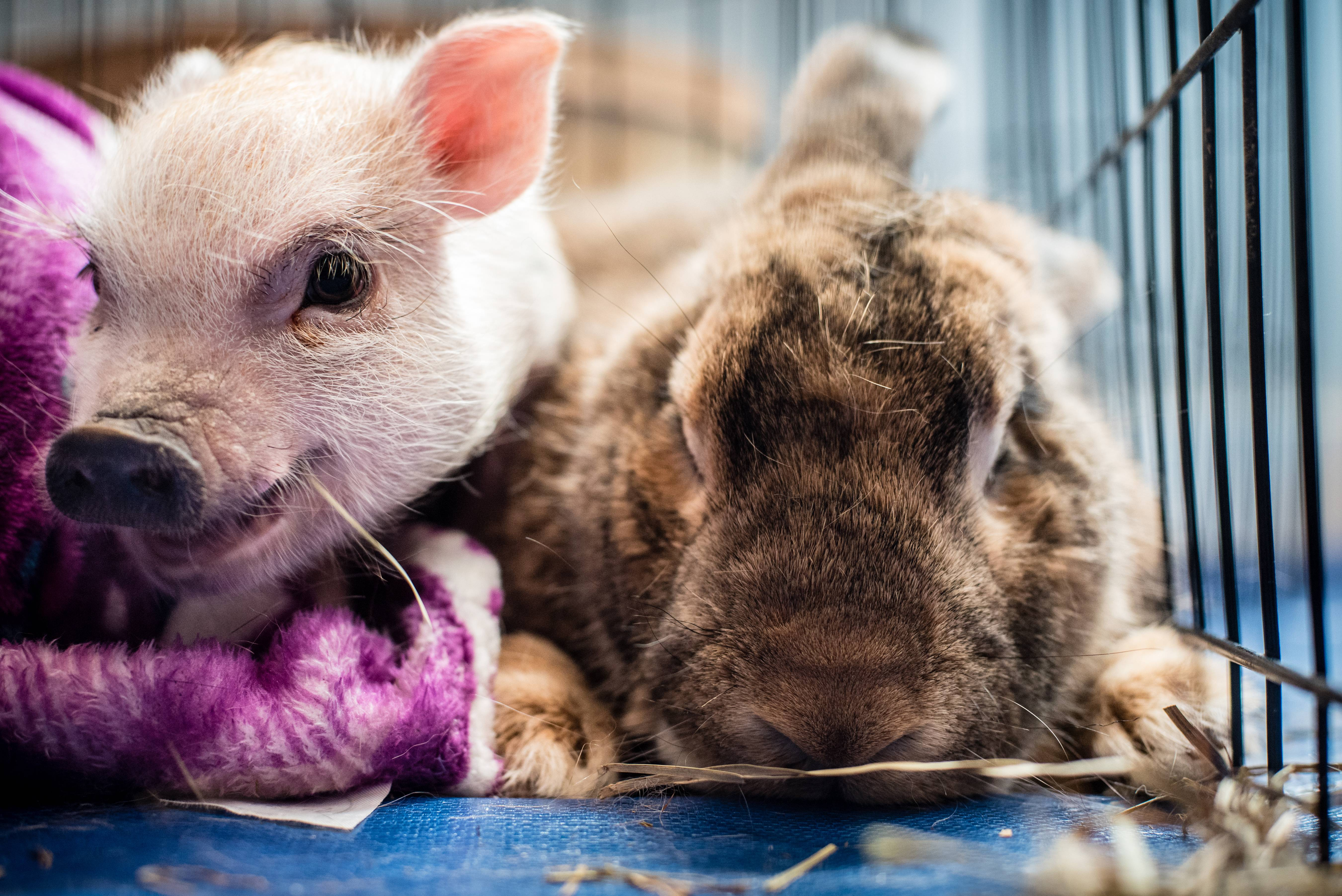 Teacup pig Thumbelina and Mr. Ears, a Flemish giant rabbit, hang out together in their enclosure at Nest DC.