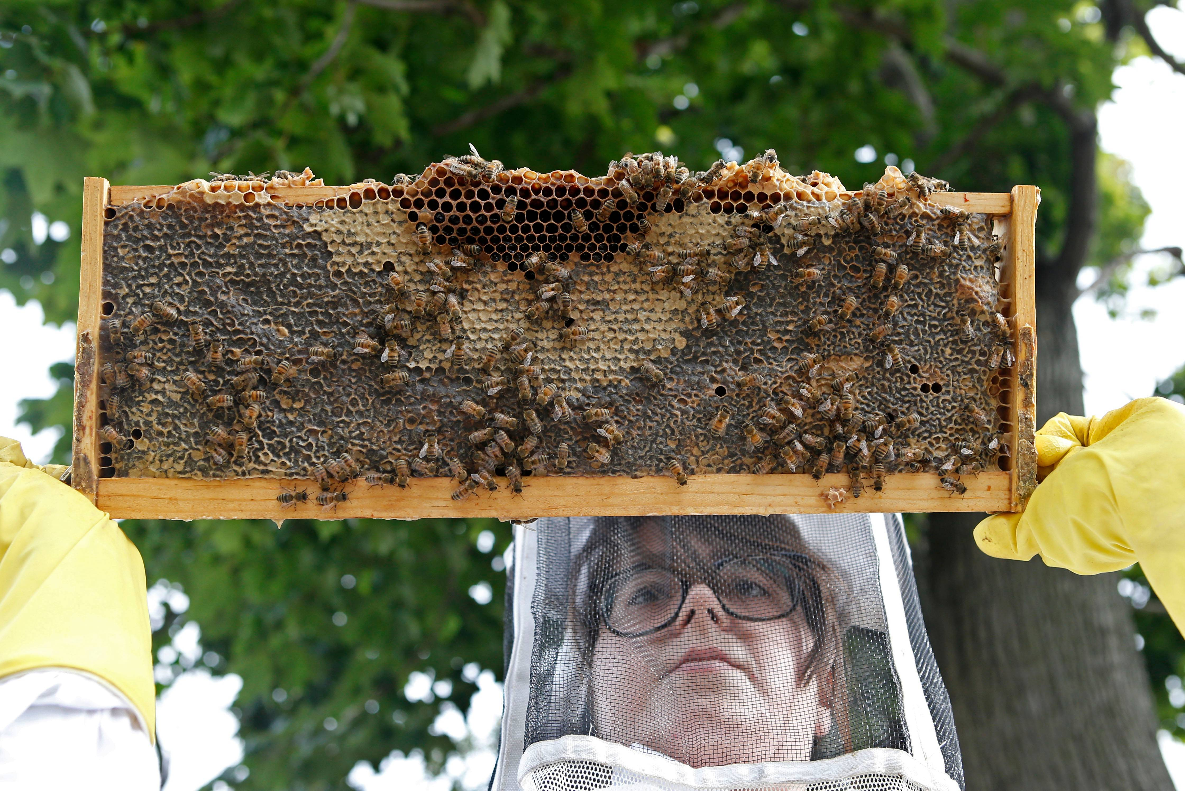 Elgin residents can expect to be allowed to keep honeybees with a $65 permit starting Jan. 1. A final city council vote is expected Dec. 20.