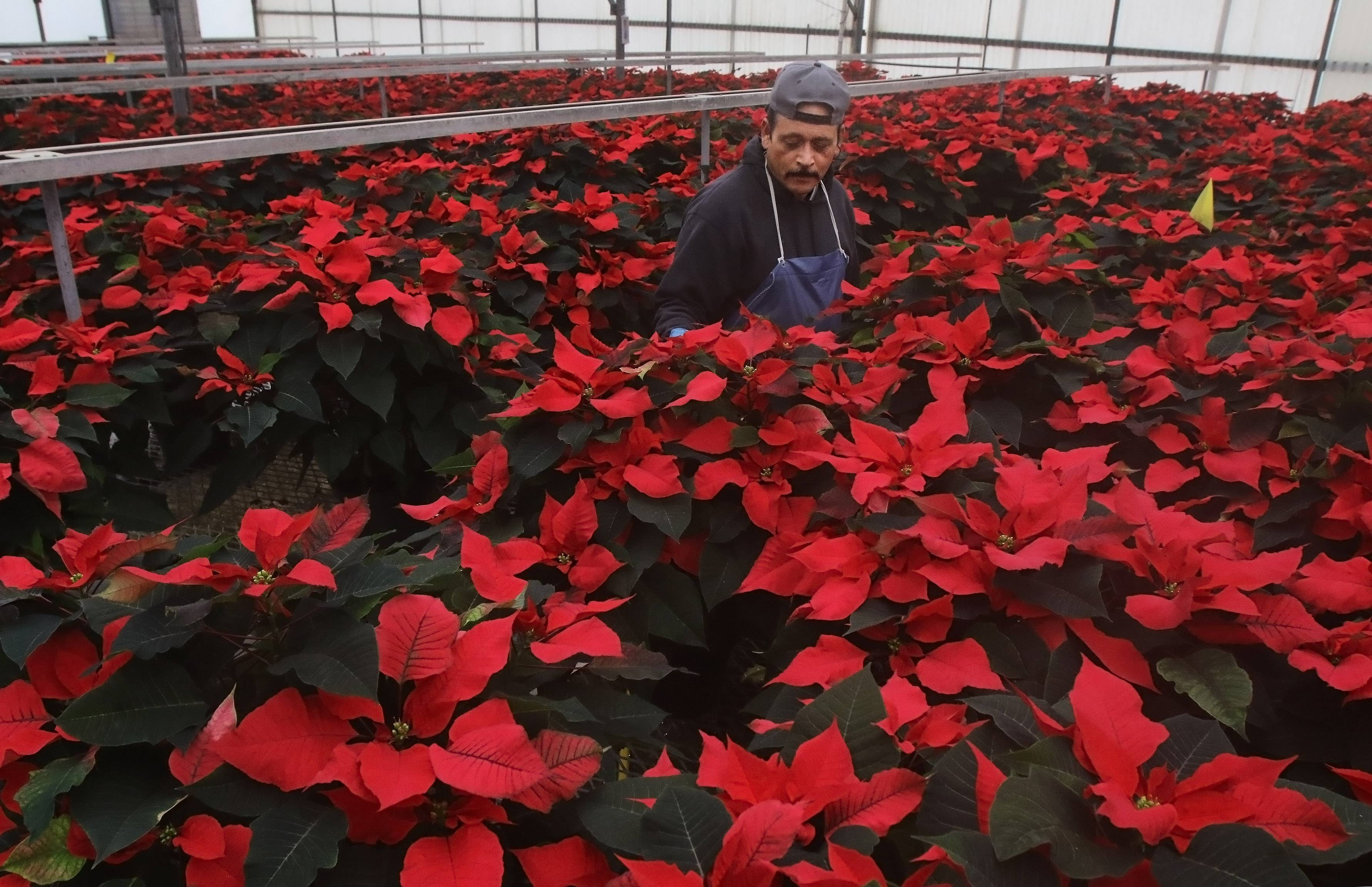 Nursery employee Javier Orduna waters the poinsettias at Leider Greenhouses in Buffalo Grove Wednesday. The nursery produces more than 200,000 poinsettias for the holiday season.