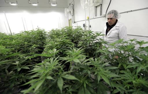 Morris Denton looks over marijuana plants in a flowering room at Compassionate Cultivation, a licensed medical cannabis cultivator and dispensary, Thursday, Dec. 14, 2017, in Manchaca, Texas. Texas is the last major holdout to relent on medical marijuana bans that began easing nationwide around the time Colorado legalized recreational use in 2012.