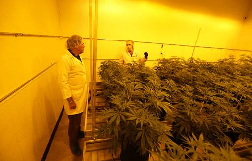 Morris Denton, left, and Dalton Edwards look over marijuana plants in a flowering room with sodium grow lights at Compassionate Cultivation, Thursday, Dec. 14, 2017, in Manchaca, Texas. The license fees to grow in Texas are the highest in the U.S. at nearly $500,000 and the program is rolling out with just seven participating doctors in a state of 27 million people. And like other states, access is limited to a small pool of patients.
