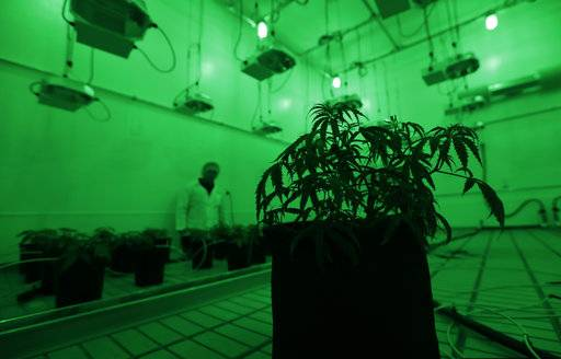 Marijuana plants grow under green lights to simulate night in a vegetation room at Compassionate Cultivation, a licensed medical cannabis cultivator and dispensary, Thursday, Dec. 14, 2017, in Manchaca, Texas. Texas is the last major holdout to relent on medical marijuana bans that began easing nationwide around the time Colorado legalized recreational use in 2012.