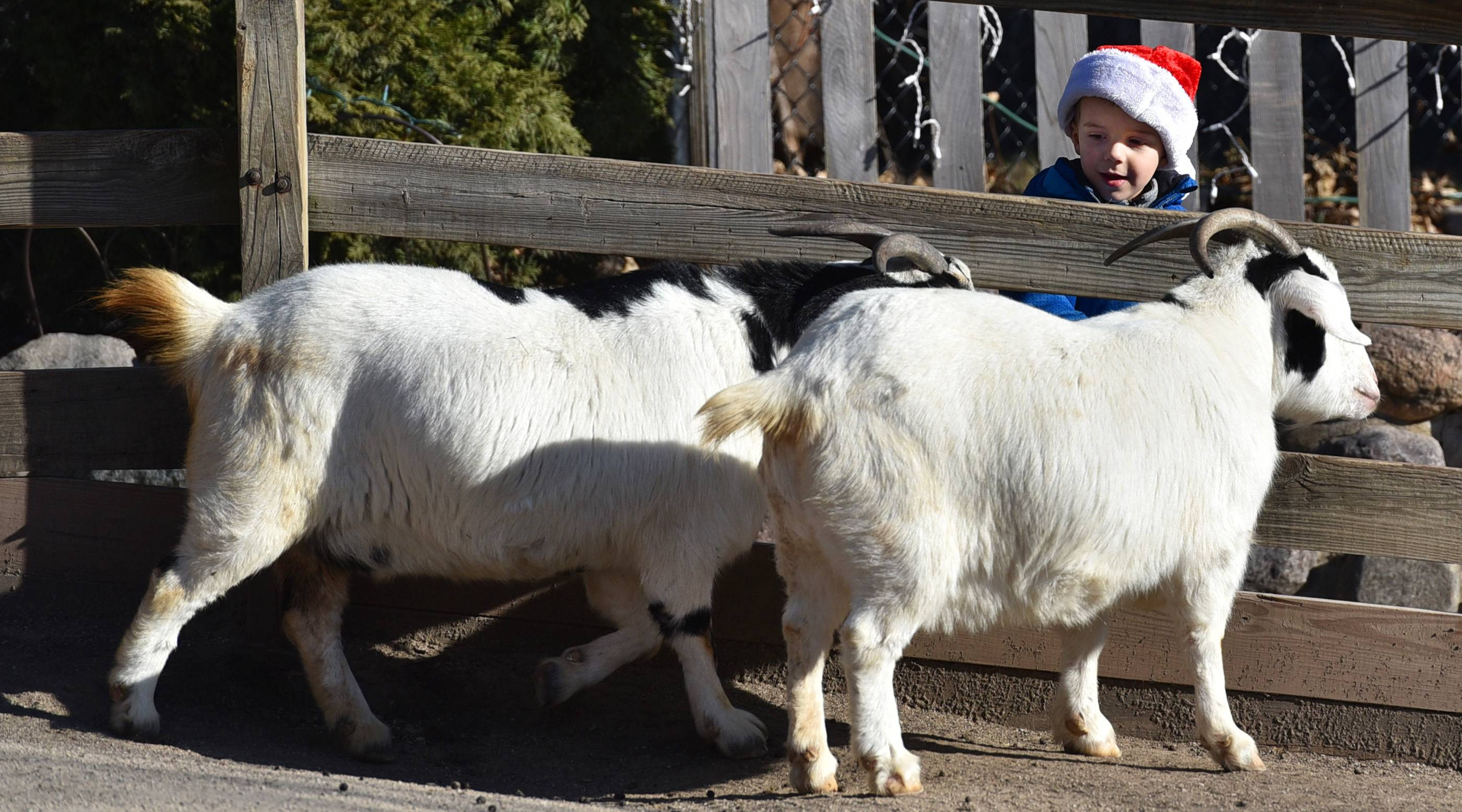 Max Backus, 4, visits with a pair of white goats Saturday at Randall Oaks Barnyard Zoo in West Dundee. He was with his parents Frank and Aggie Backus of Crystal Lake. Max also visited with Santa.
