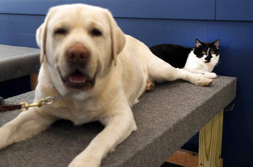In this Nov. 28, 2017, photo, D-O-G, a black and white cat with an unlikely name, lies next to a support dog in training at Support Dogs, Inc. in St. Louis. Officials from the facility took in the cat over the summer and say he plays a key role getting the dogs comfortable around other animals. He helps train canines for important jobs assisting people with disabilities. (AP Photo/Jeff Roberson)