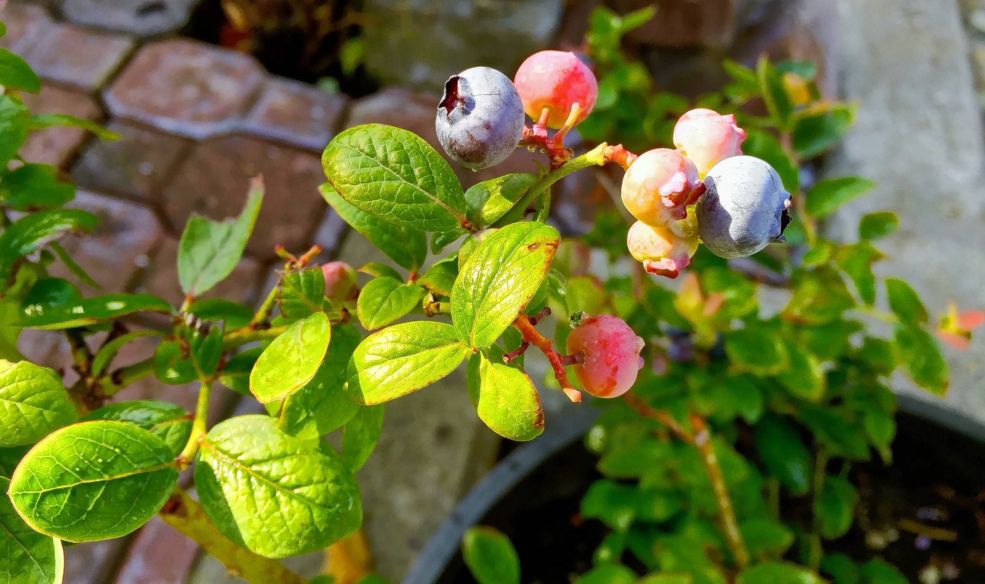 Blueberries grow in a pot on a patio garden. Plant breeders are introducing everything from shrubs and trees to flowering perennials that remain compact when planted in the garden. They look great in containers, too.