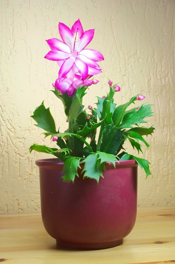 Christmas Cactus Bloom.How To Get Christmas Cacti To Bloom