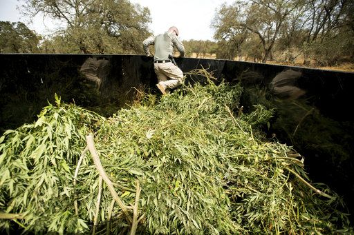 File - In this Sept. 29, 2017, file photo, a sheriff's deputy compacts marijuana seized during a raid in unincorporated Calaveras County, Calif. A hodgepodge of law enforcement agencies throughout California will be responsible for enforcing new marijuana laws that make legal some, but not all, sales of the drug for recreational use on Jan. 1, 2018.