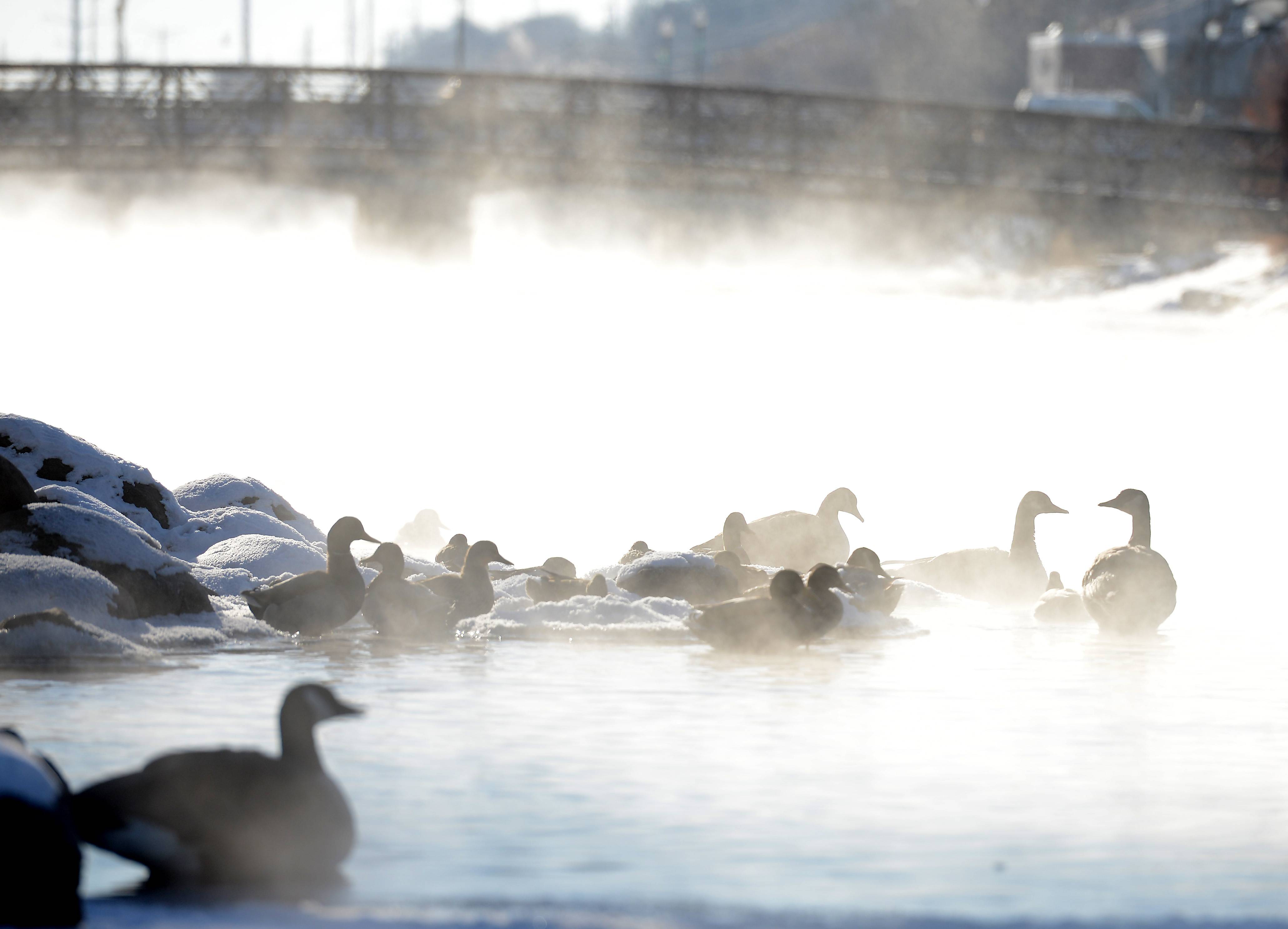 Geese and ducks sit on the icy Fox River on Tuesday in Elgin as temperatures started the day below zero.