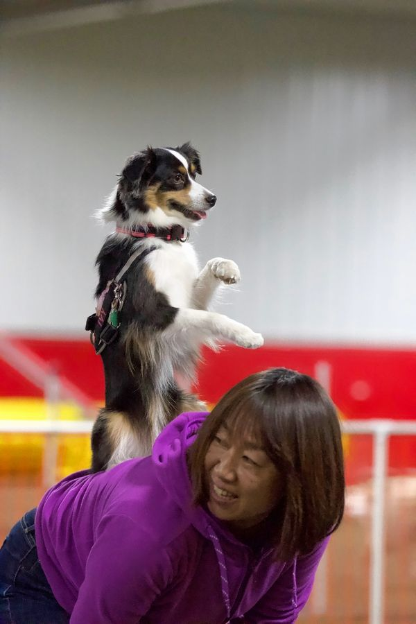 Kaori Miyamoto and her mini Aussie, Ivy, won the tricks contest at the 10th anniversary party of Spot On K9 Sports.