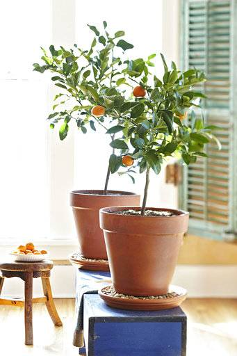 This photo provided by Lowe's shows a dwarf citrus tree growing inside a home in Mooresville, N.C. (Lowes via AP)
