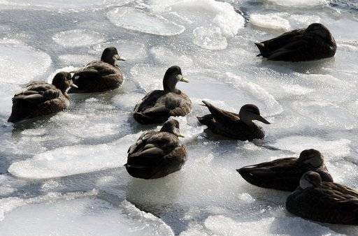 Ducks sit on sea ice in Boston Harbor, Wednesday, Jan. 3, 2018, in Boston. After a week of frigid temperatures, a major winter storm is predicted for the region on Thursday.