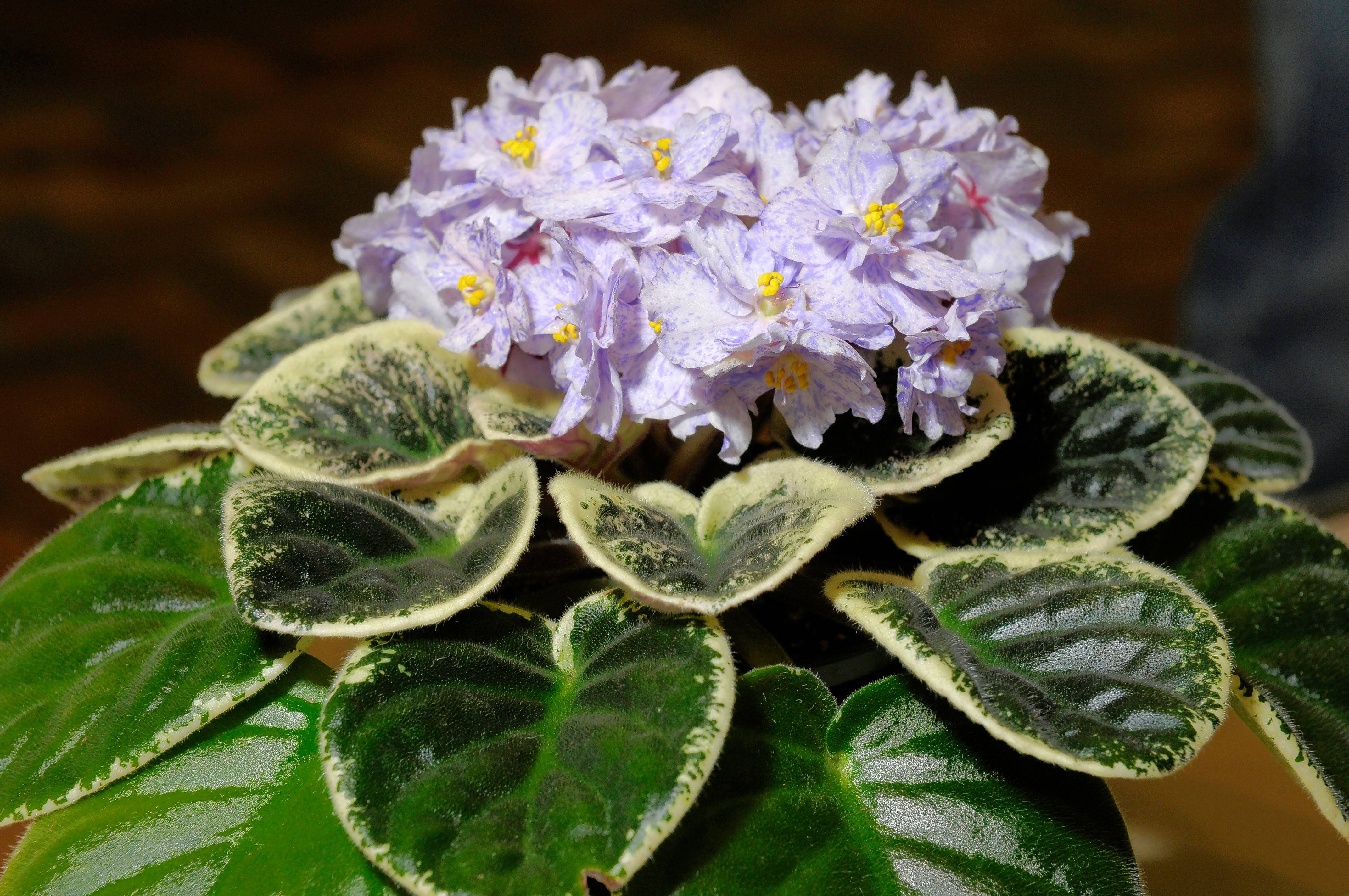 Flowering houseplants such as African violets will benefit from fertilizing once a month in the winter.