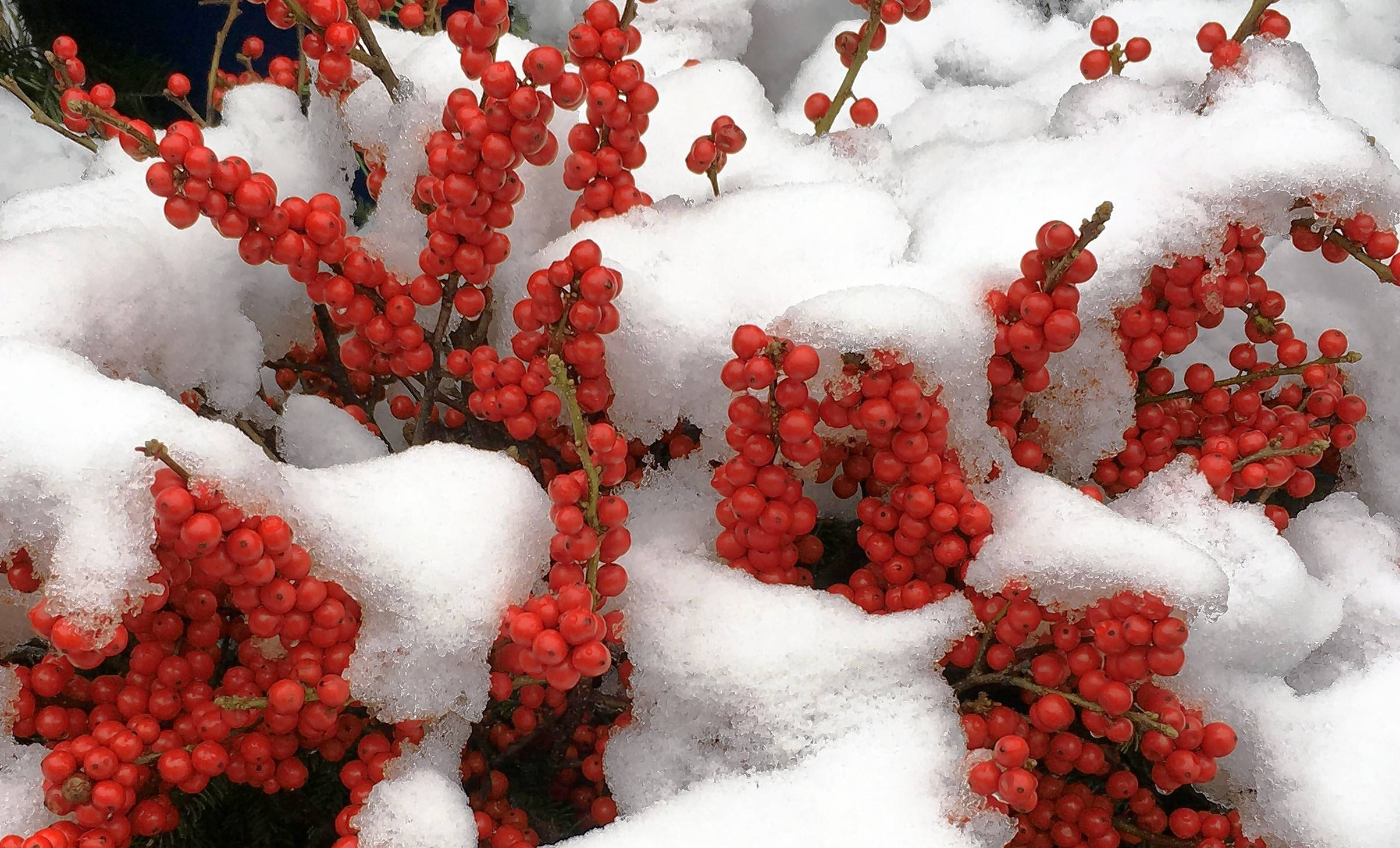 The red berries of winterberry shine when covered with snow.