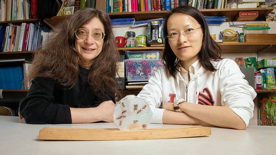 A study by University of Illinois entomology professor May Berenbaum, left, and postdoctoral researcher Ling-Hsiu Liao finds honeybees prefer sugar syrup laced with a fungicide that can contaminate hives and mess with the bees' ability to metabolize pesticides.