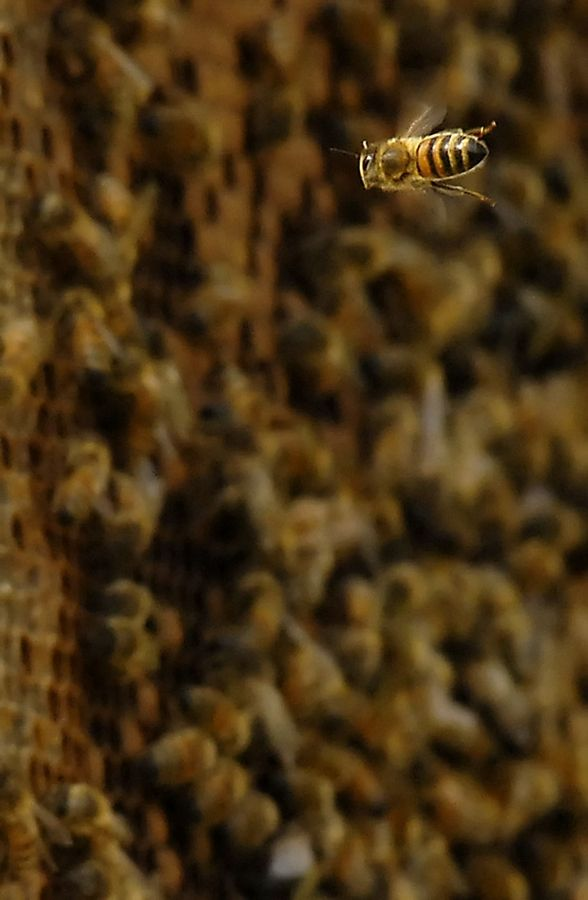 Not native to North America, honeybees were brought here from Europe, where they learned to deal with most of the hardships that our winters bring.