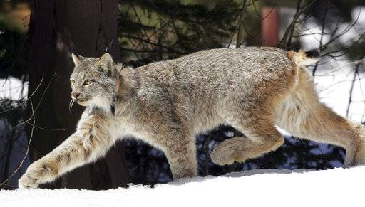 Us Says Snow Loving Lynx No Longer Need Special Protection