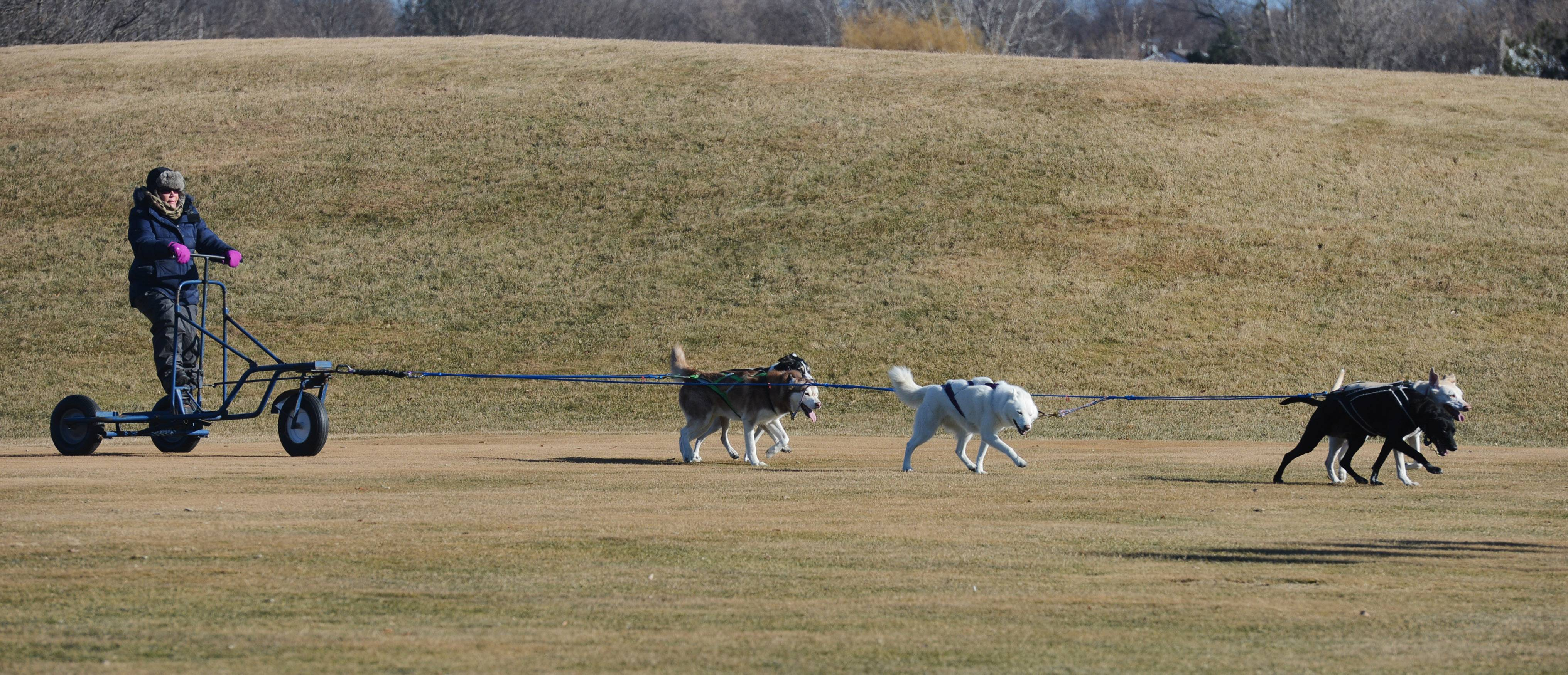 Dogs pull a wheeled sled guided by Annette McNeely of Lemont during a demonstration by the Green Valley Dog Drivers during Frosty Fest at Bittersweet Golf Club in Gurnee Saturday.