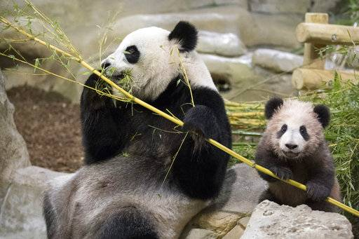 "Panda cub Yuan Meng, which means ""the realization of a wish"" or ""accomplishment of a dream"", eats bamboos with her mother Huan Huan at the Beauval Zoo, in Saint-Aignan-sur-Cher, France, Saturday, Jan. 13, 2018. France's first baby panda has made his grand public entree, acting like many five-month-olds _ climbing all over his reclining mother who appeared to want to rest. (Zoo Parc de Beauval via AP)"
