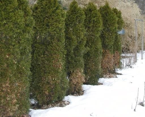Was ist Winterbrand: Wie kann man den Winter in Evergreens brennen?