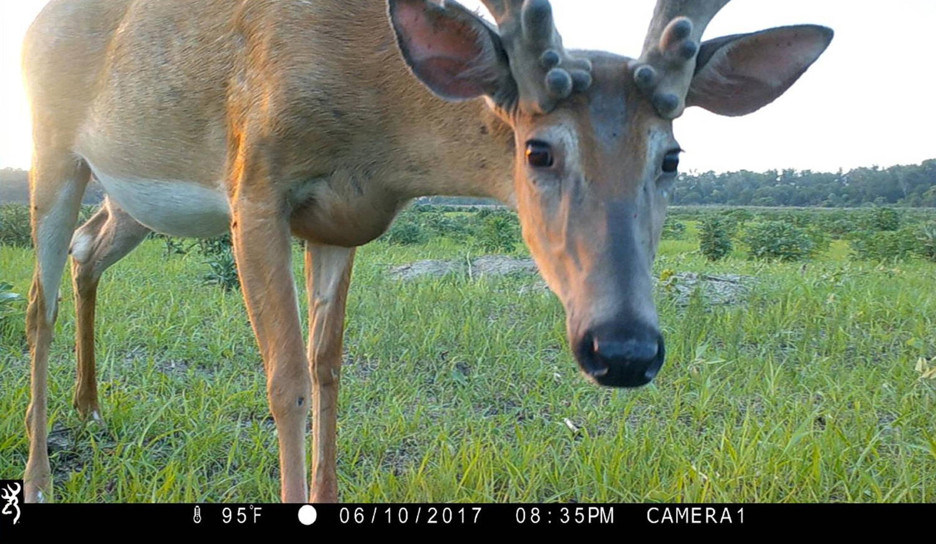 This 2017 photo from a U.S. Fish and Wildlife Service motion-activated camera shows a deer at the DeSoto National Wildlife Refuge in Nebraska. Motion-detecting wildlife cameras are yielding serious science as well as amusing photos.