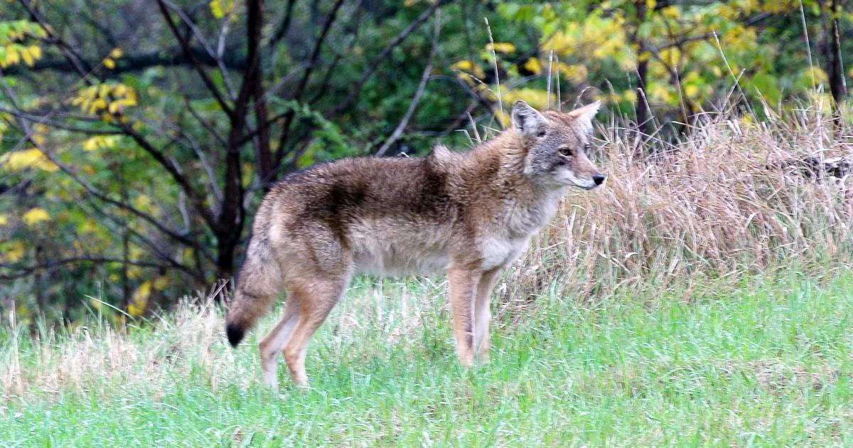 Why Were Seeing More Coyotes This Winter