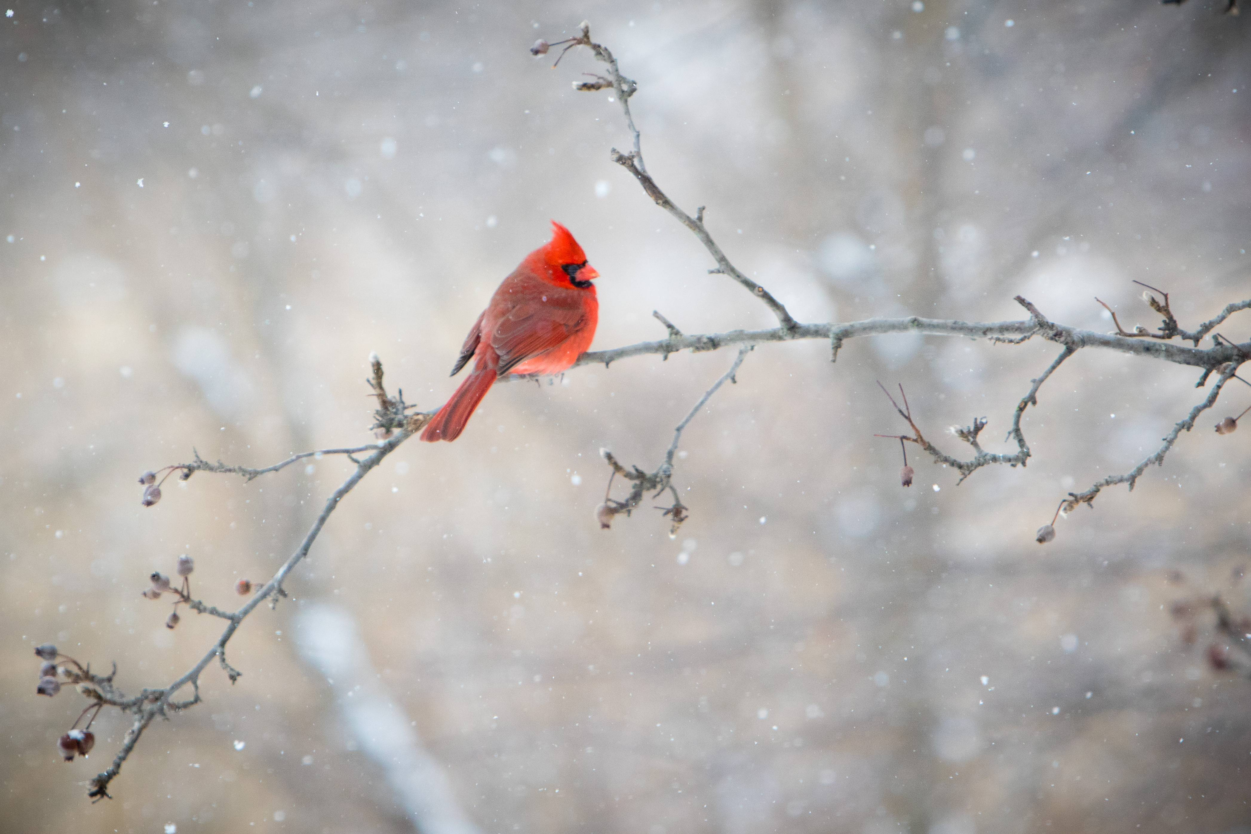 It's hard not to love the beauty of Cardinals on a snowy afternoon.