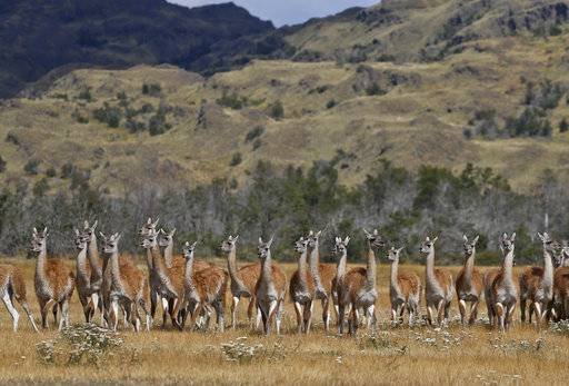 Guanacos stand during a signing ceremony in Patagonia Park, Monday, Jan. 29, 2018. Chile's president signed decrees creating vast new national parks using lands donated by the Tompkins Conservation, in what is believed to be the largest private donation of land ever from a private entity to a country.
