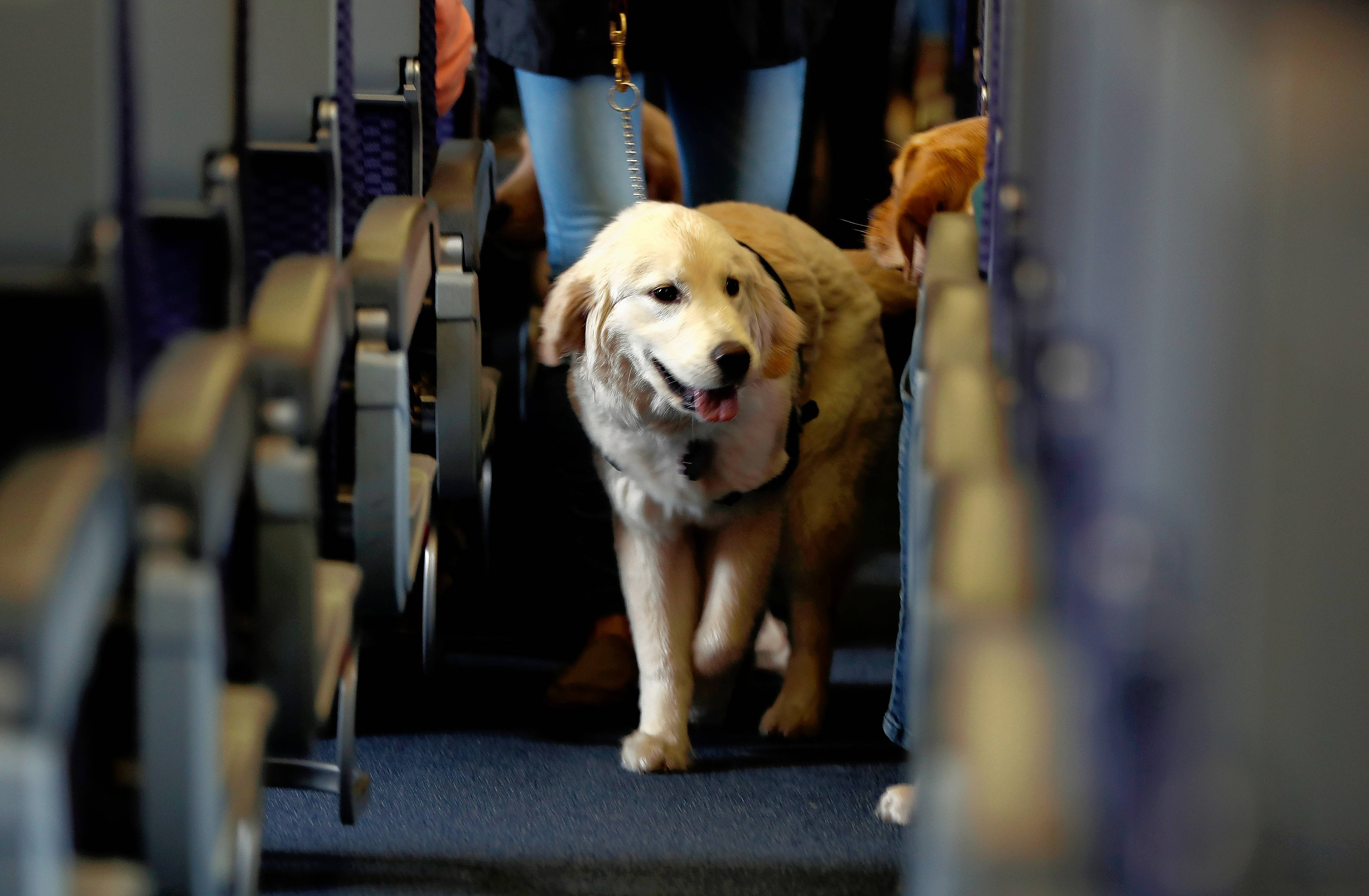 The airline industry currently has a mixture of rules for pets as well as service animals and emotional support animals on flights. United Airlines is increasing requirements for passengers bringing emotional support animals on board flights effective March 1.