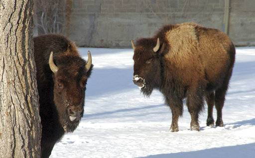 This photo taken in Mammoth Hot Springs, Wyo., shows bison in Yellowstone National Park on Saturday, Jan. 20, 2018. A federal judge has ordered U.S. wildlife officials to reconsider a decision that blocked greater for protections the park's iconic bison herds, which make up the largest remaining population of the species in the wild but are routinely subject to slaughter when they attempt to leave the park.