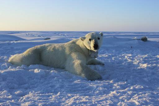 In this April 15, 2015 photo provided by the United States Geological Survey, a polar bear wearing a GPS video-camera collar lies on a chunk of sea ice in the Beaufort Sea. A new study released on Thursday, Feb. 1, 2018 shows some polar bears in the Arctic are shedding pounds during the time they are supposed to be beefing up. Scientists blame climate change for shrinking the ice cover on the Arctic Ocean that the polar bears need for hunting. (Anthony Pagano/USGS via AP)