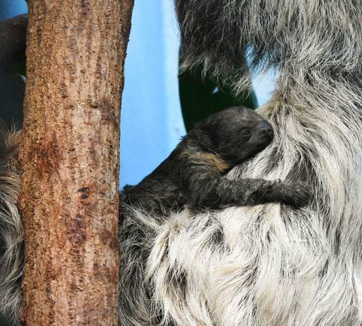 This Jan. 2018 photo provided by the Denver Zoo shows the zoo's sloth, Charlotte and her baby two-toed sloth, in their habitat in Bird World in Denver. The Denver Post reports that the zoo's sloth gave birth to the baby on Sunday, Jan. 28. The mother and her baby made their public debut together on Thursday, Feb. 1. (Laurel Brunson/Denver Zoo via AP)