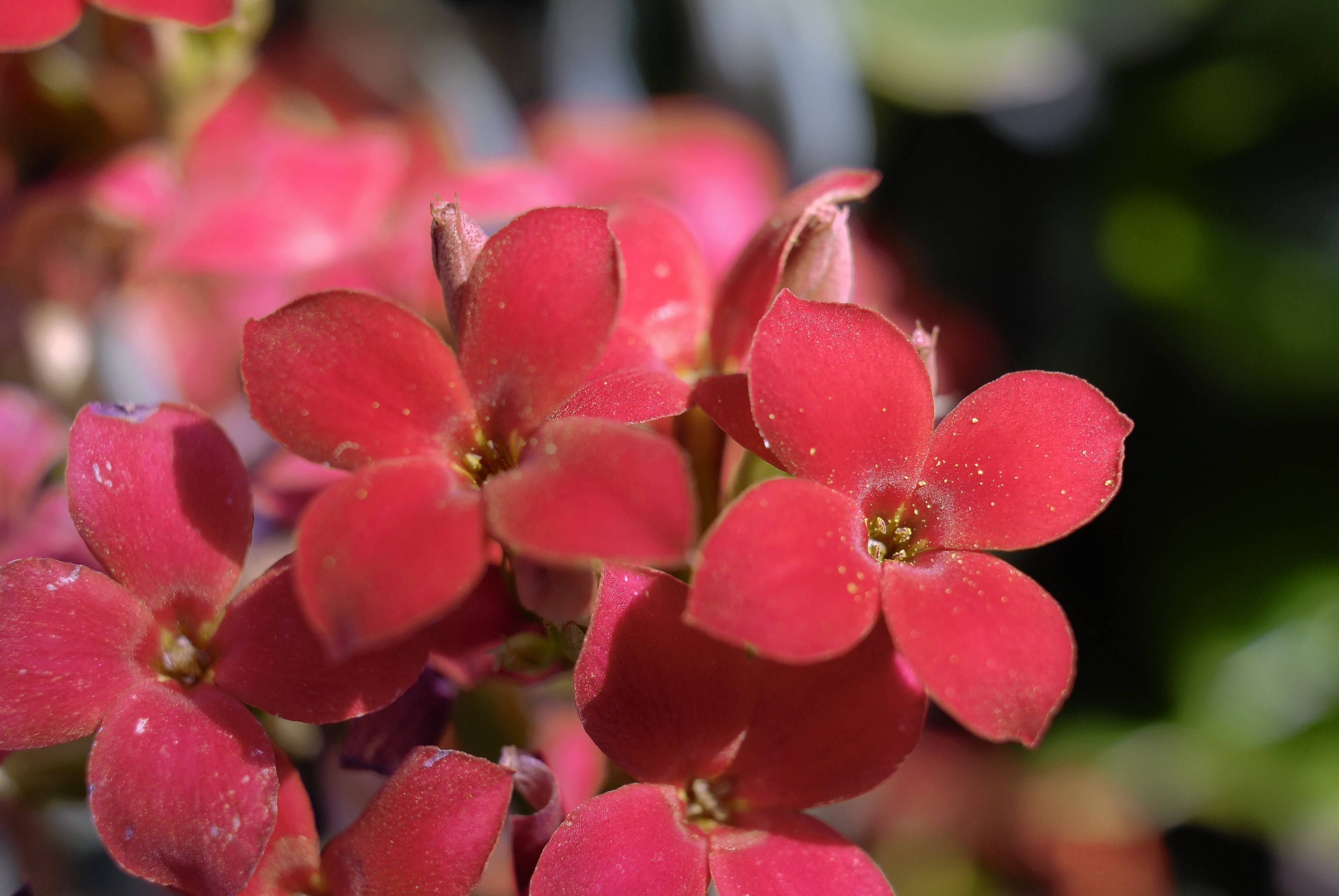 Kalanchoes are flowering plants that come in a range of colors and their blooms coincide with the colder months.
