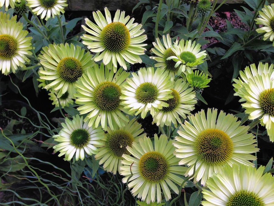 With Many Colors And Forms Coneflowers Offer Much Variety