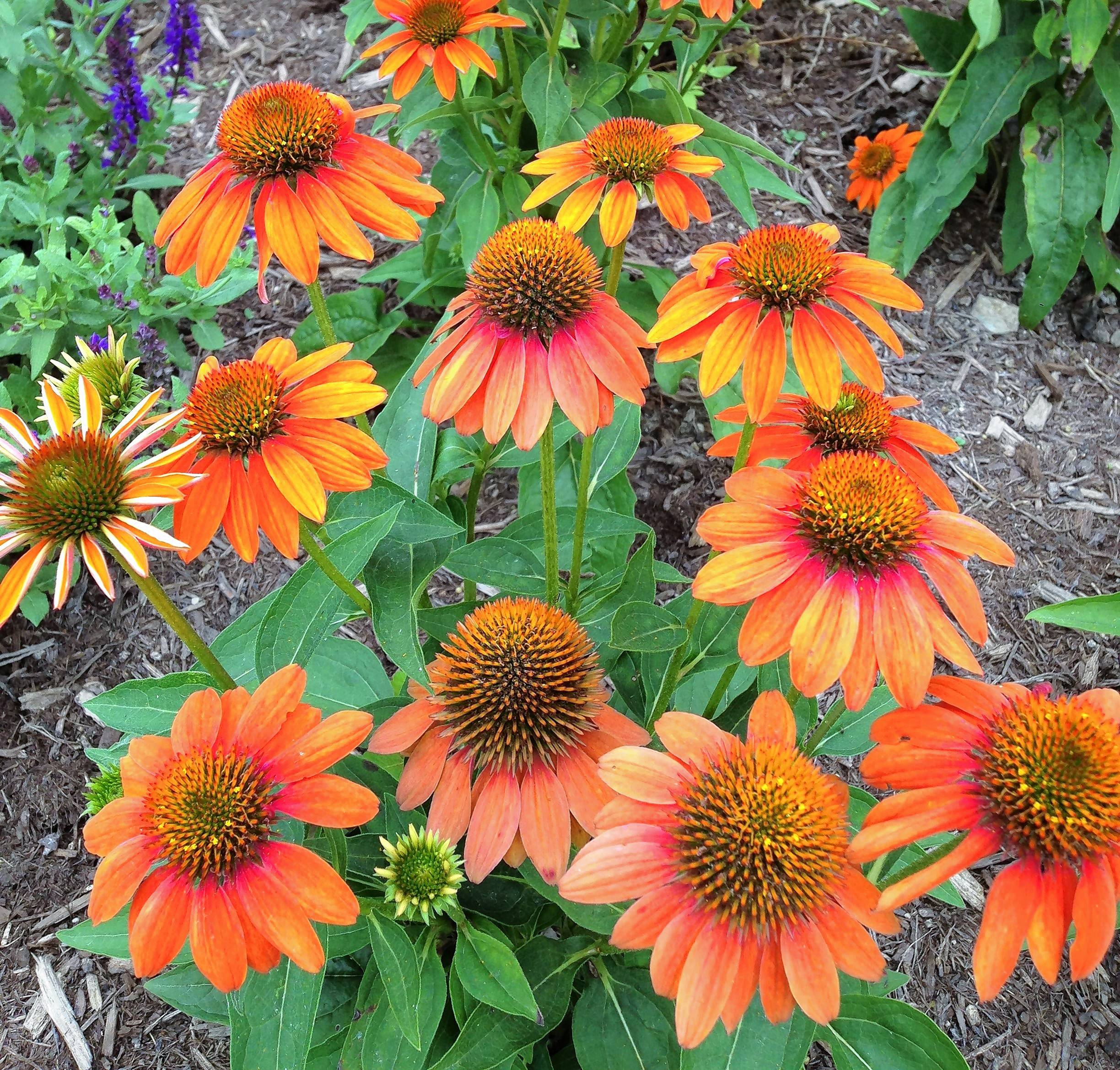 Adobe Orange is another cultivar in the Sombrero coneflower family.