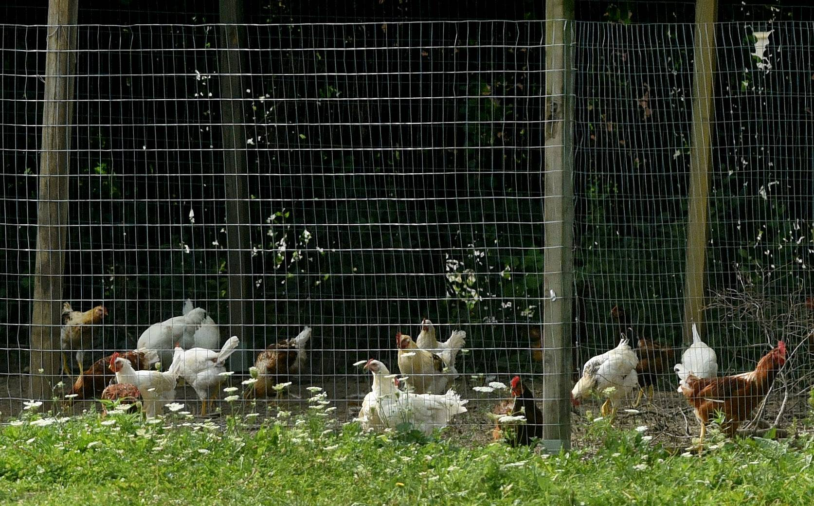 North Barrington forcibly annexes chicken farm