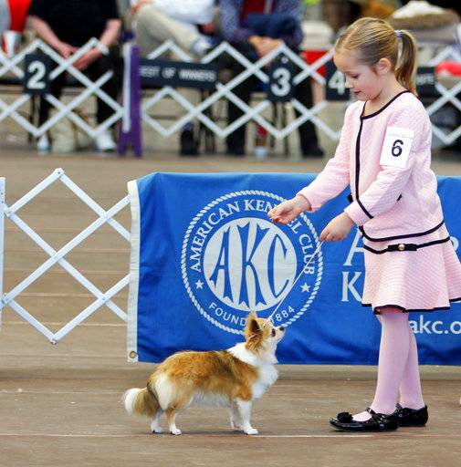 In this Jan. 20, 2018 photo provided by Kristie Reisenweaver, Mackenzie Huston, 7, shows her long coat Chihuahua, Iridessa, at the Boardwalk Kennel Club dog show in Wildwood, New Jersey. Mackenzie isn't yet competing at the Westminster Kennel Club dog show, but she's among young dog handlers who sometimes go up against grown-ups in a sport that prizes poise and formality. (Kristie Reisenweaver via AP)