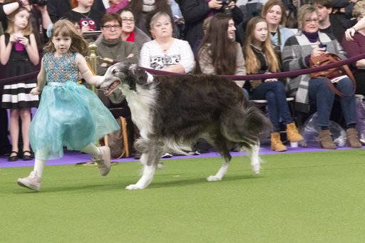 In this Feb. 13, 2017, file photo, Raina McCloskey, from Delta, Pa., shows Briar, a borzoi, during the 141st Westminster Kennel Club Dog Show in New York. The Westminster Kennel Club competition is best known for the dog crowned Best in Show, but it's also a showcase for young handlers who sometimes go up against grown-ups.