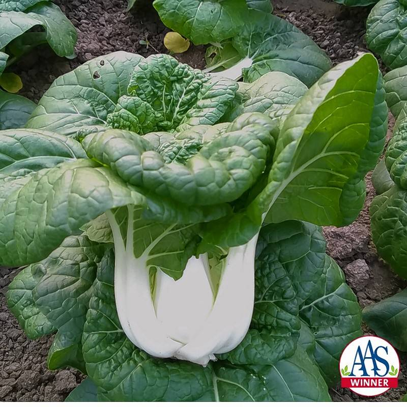 The white stems of Asian Delight Pak Choi are beautiful in containers while waiting to harvest.